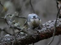 Jiuzhaigou Birds, Black-headed Nuthatch