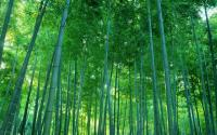 Tall and straight bamboo