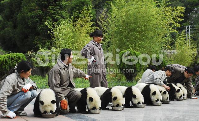 Panda Babays are having Dinner
