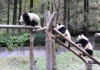 Pandas are climbing stairs