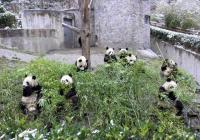 Pandsa are eatting bamboo