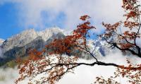 Red Leaves in Xiling Snow Mountain